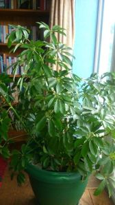 Umberella Plant